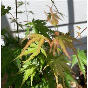 Acer Palmatum Sélect