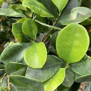 Ficus Kaneshiro Banyan