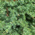 Juniperus chinensis San Jose