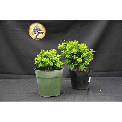 Buxus microphylla Reiss Dwarf