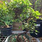 Sageretia Theezans - Sweet Plum