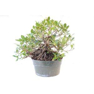 Ficus Microcarpa Green Island (Over Rock)