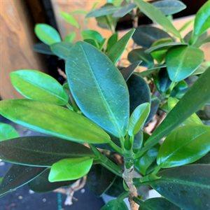 Ficus Microcarpa Green Island (Sur roche)