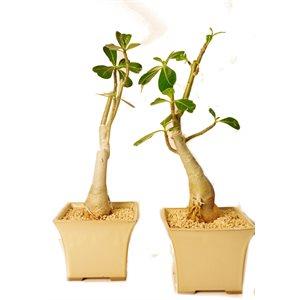 Adenium Obesum (Rose du Désert)