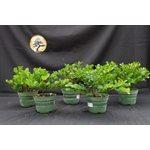 Carissa Microcarpa - Natal Plum